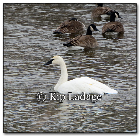 Trumpeter Swans in Winter - Image 233254