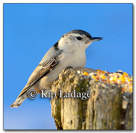 White-breasted Nuthatch - Image 232677