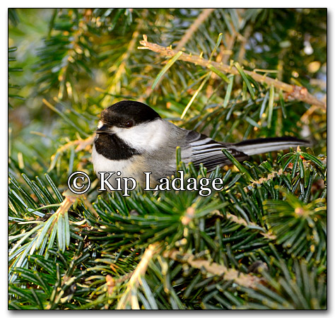 Black-capped Chickadee - Image 235754