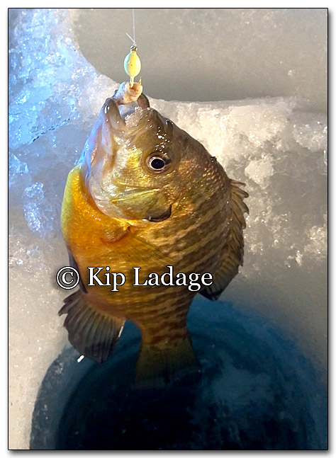 Bluegill Through Ice - Image 236538r