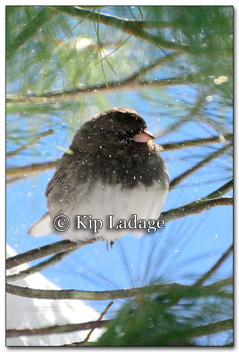 Dark-eyed Junco - Image 236560