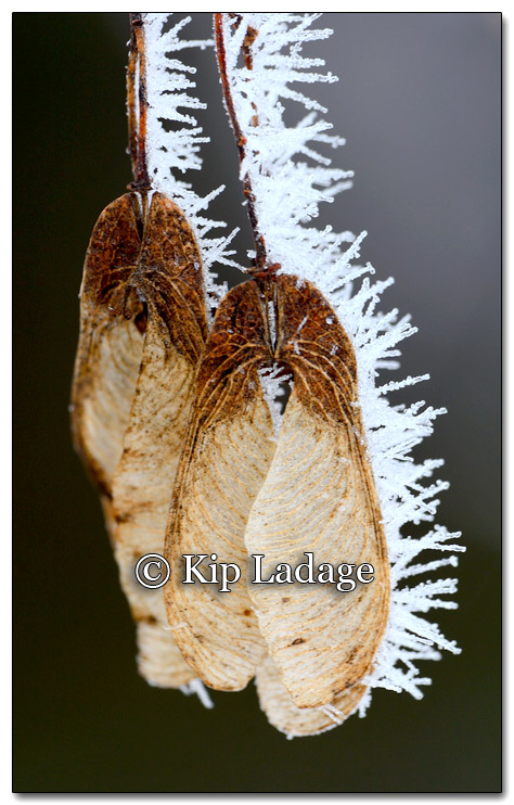 Frost on Maple Seeds - Image 235316