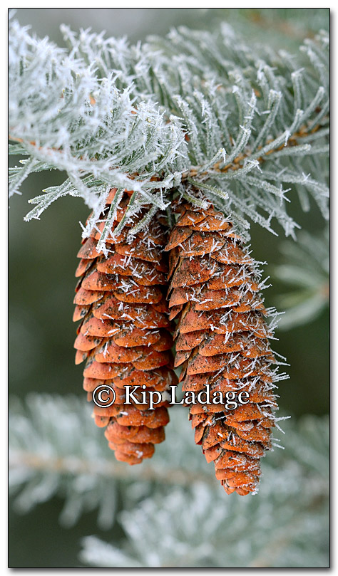 Frost on Pine Cones - Image 235222