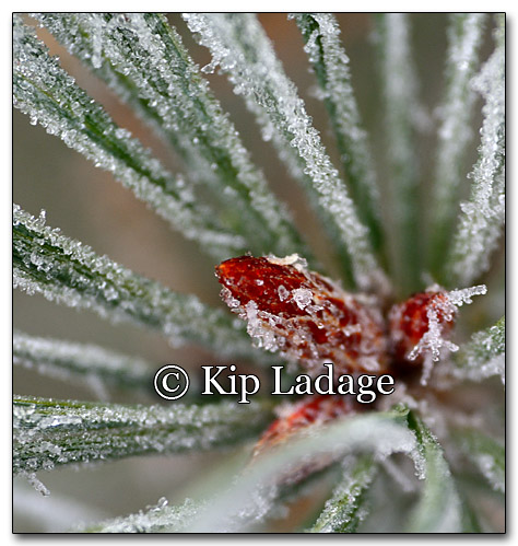 Frost on Pine Needles - Image 235254