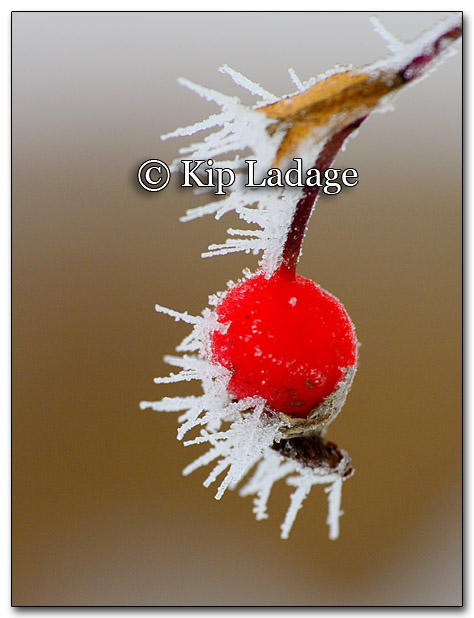 Frost on Rose Hip - Image 235399