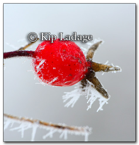 Frost on Rose Hip - Image 235422