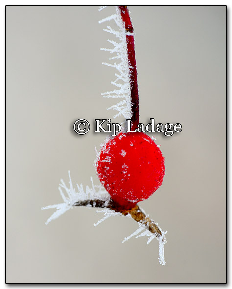 Frost on Rose Hip - Image 235472