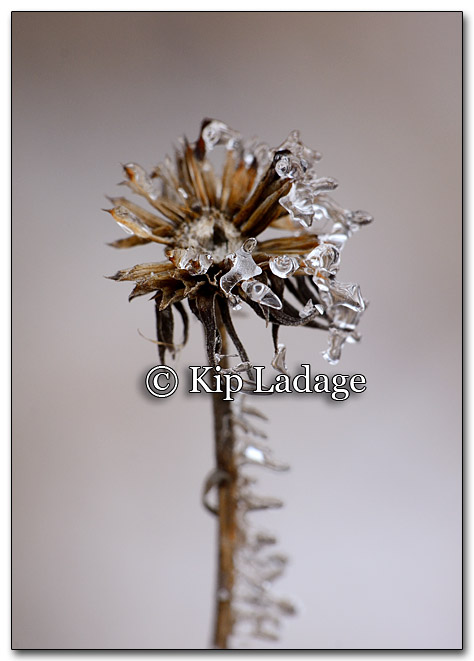 Ice on Dead Wildflower Heads - Image 235499