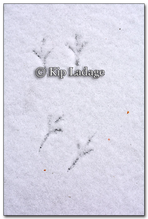 Junco Tracks in Snow - Image 235742