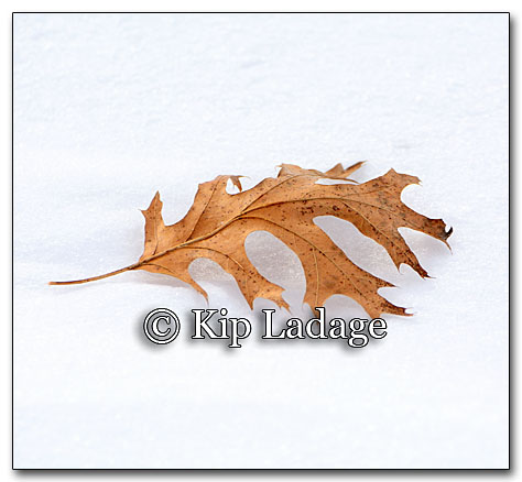 Oak Leaf on Snow - Image 237165