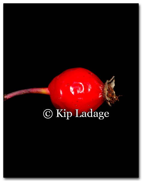 Rose Hip - Image 235748