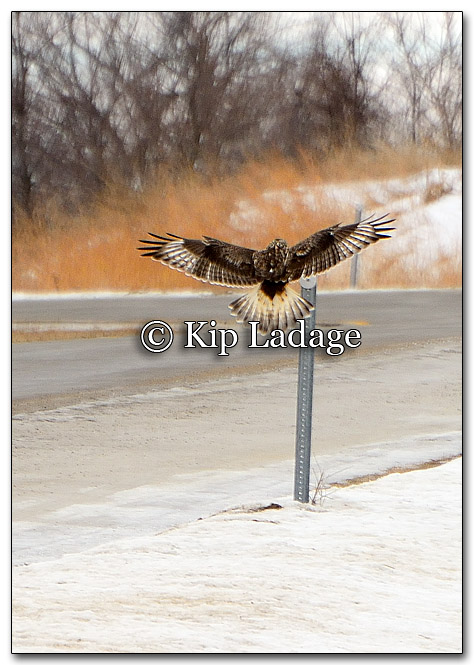 Rough-legged Hawk - Image 235716