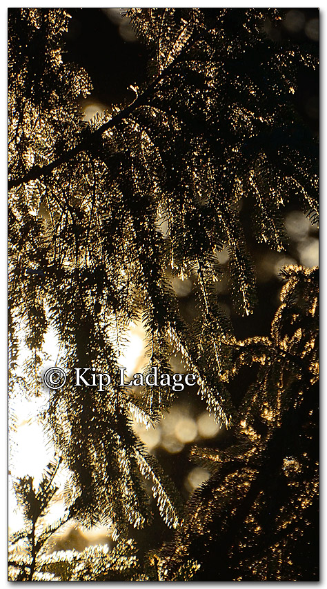 Sunlight Through Pines - Image 237059