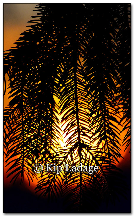 Sunset Through Pine Tree - Image 235729