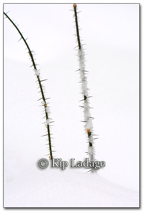 Thorns in Snow - Image 236118