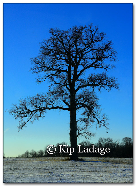 Tree in Field - Image 236425