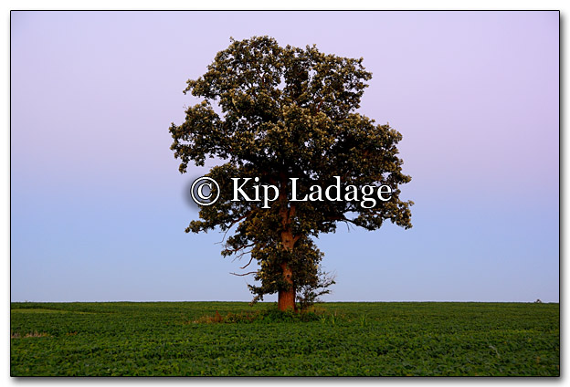 Lone Tree in Field at Dusk - Image 268301H