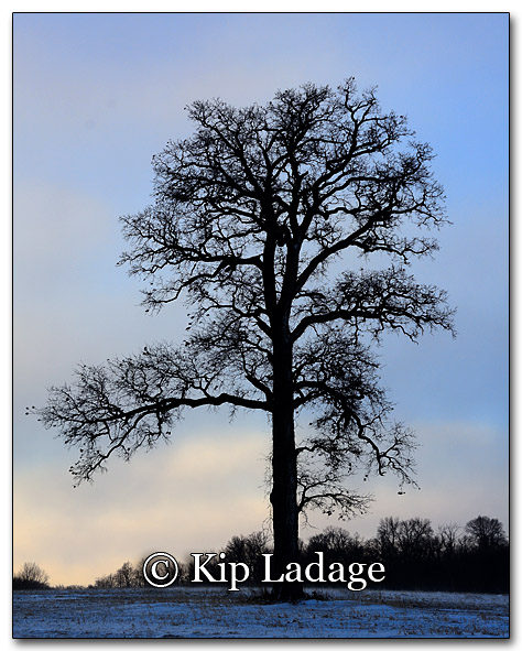 Tree in Field on Cold Morning - Image 237030