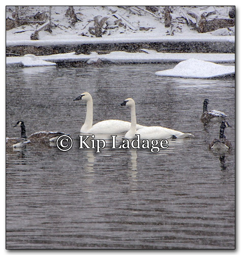 Trumpeter Swans and Canada Geese - Image 236383
