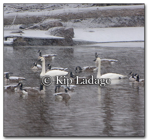 Trumpeter Swans and Canada Geese - Image 236394