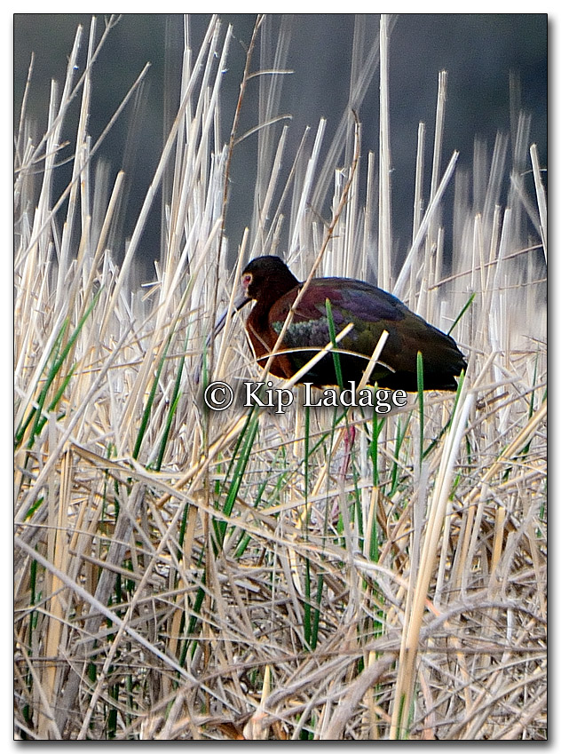 White-faced Ibis - Image 255203