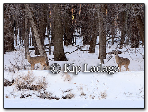 Whitetail Deer in Timber - Image 237037
