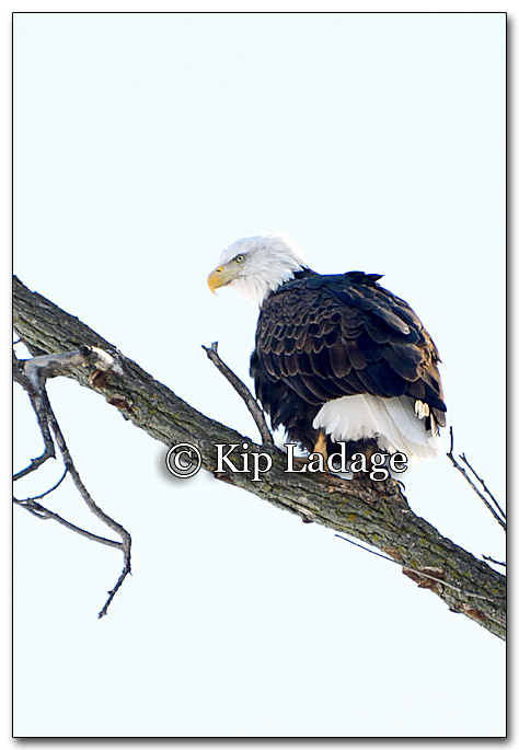 Bald Eagle - Image 237598