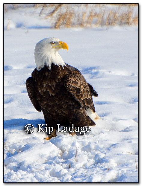 Bald Eagle - Image 238479