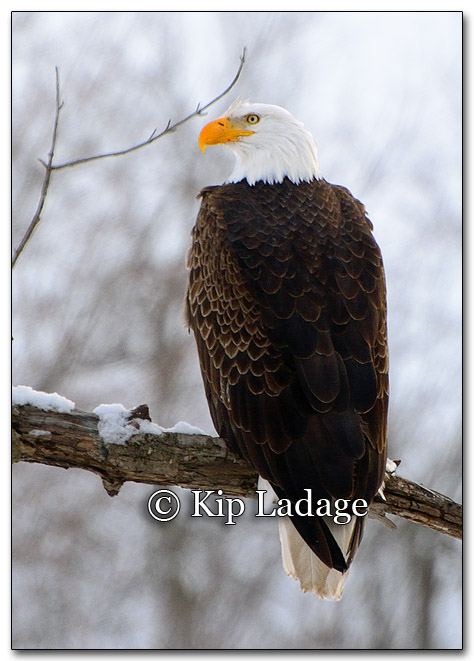 Bald Eagle - Image 238500