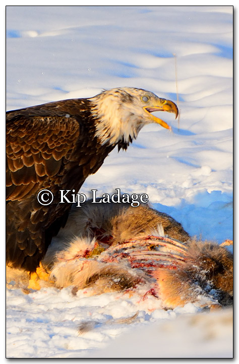 Bald Eagle Feeding on Deer Carcass - Image 238401