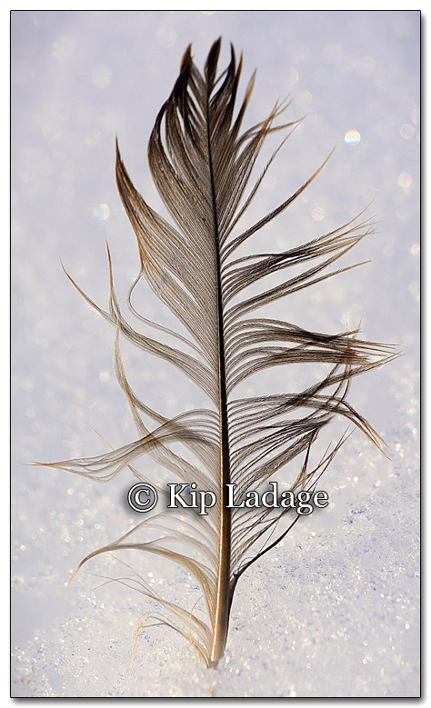 Feather in Snow - Image 238910 PE8