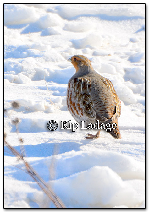 Gray Partridge - Image 239403