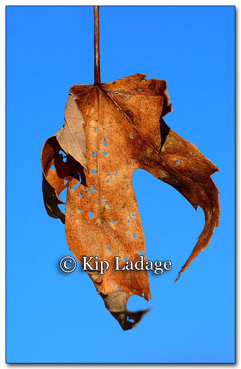 Leaf with Holes - Image 239349