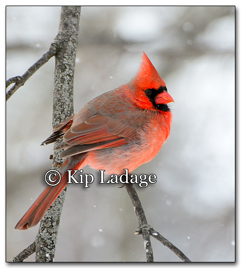 Male Northern Cardinal - Image 237965