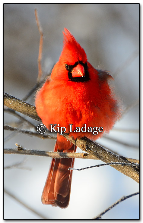 Male Northern Cardinal - Image 238047