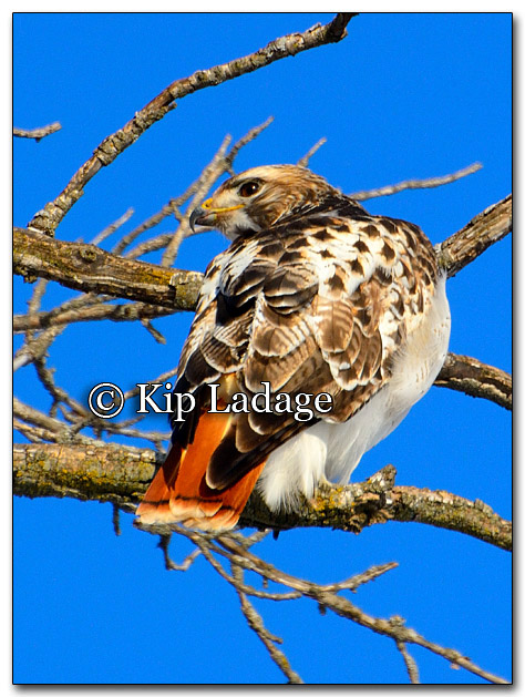 Red-tailed Hawk - Image 237671