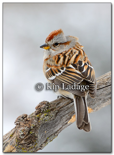 American Tree Sparrow - Image 239623