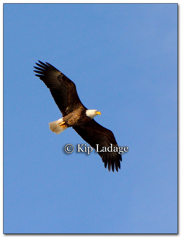 Bald Eagle - Image 241646
