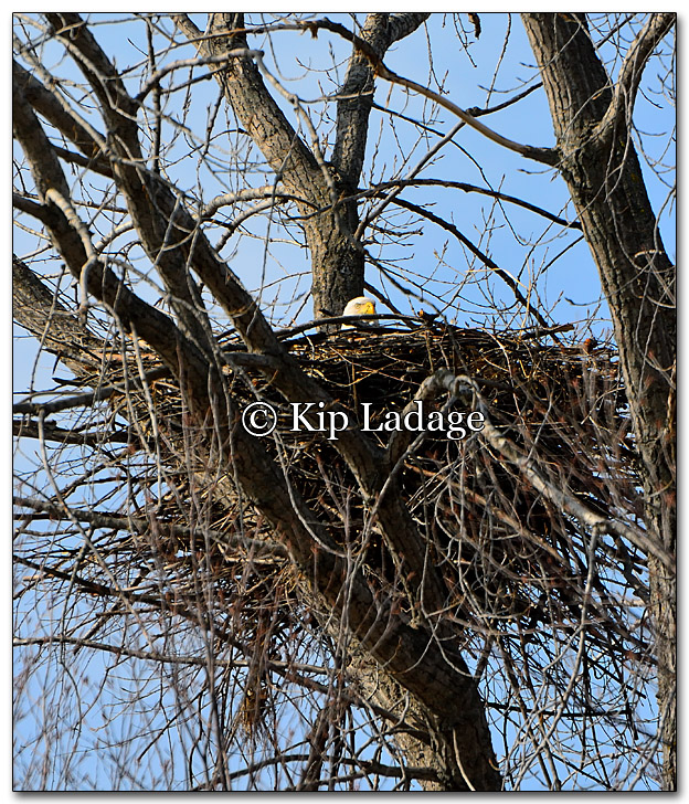 Bald Eagle on Nest - Image 242742