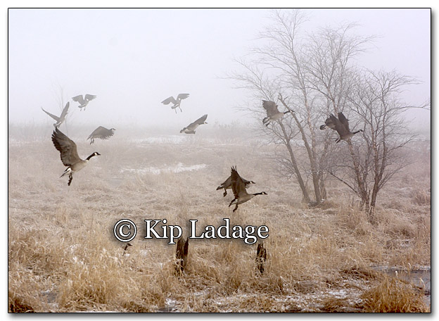 Canada Geese in Fog - Image 241821