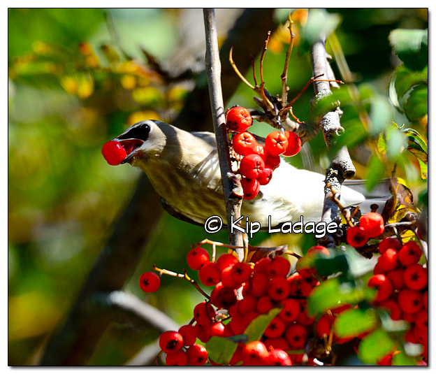 Cedar Waxwing with Berry - Image 339544