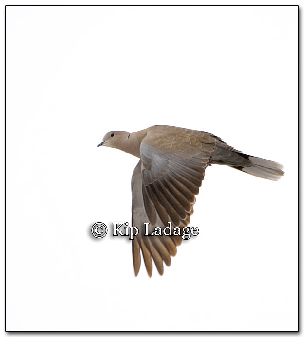 Eurasian Collared Dove - Image 241099