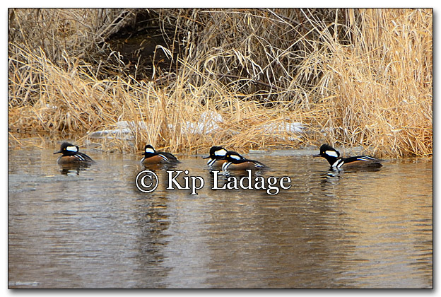 Hooded Mergansers - Image 241306