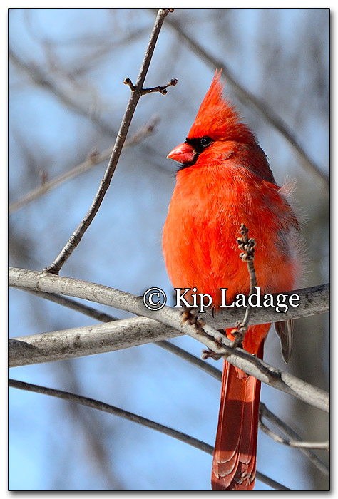 Male Northern Cardinal - Image 239722