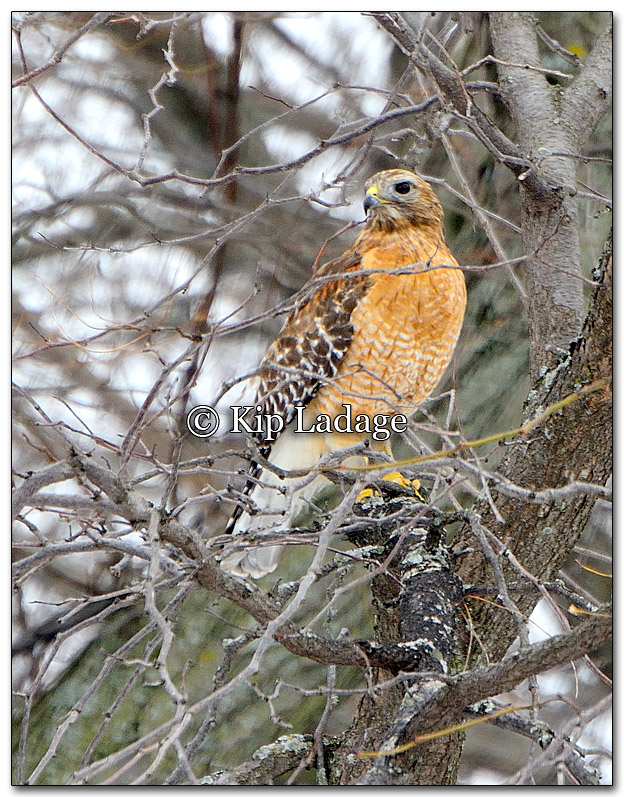 Red-shouldered Hawk - Image 240647