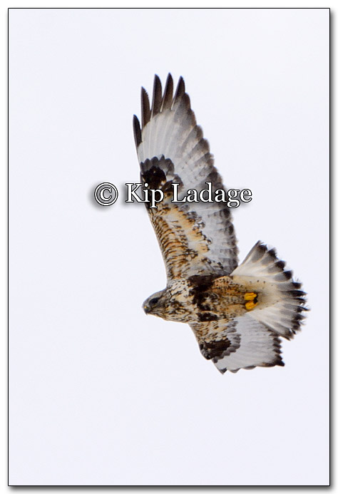 Rough-legged Hawk - Image 240095