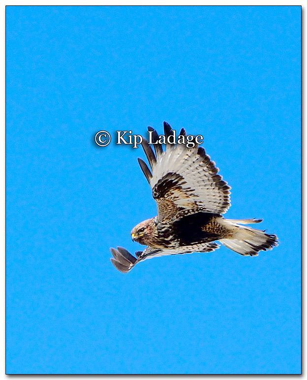 Rough-legged Hawk - Image 241166