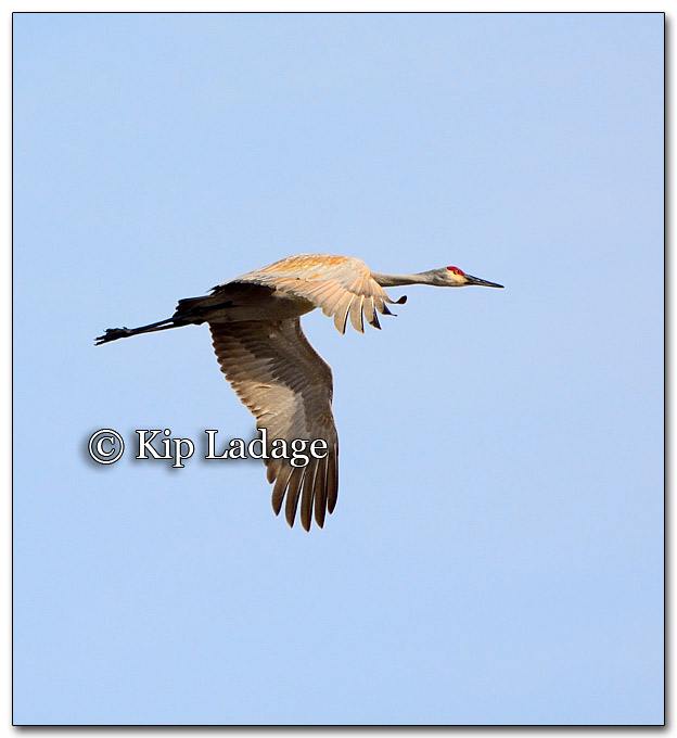 Sandhill Crane in Flight - Image 242557
