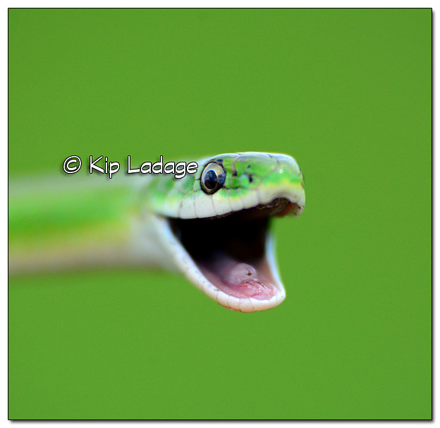Smooth Green Snake - Image 380549