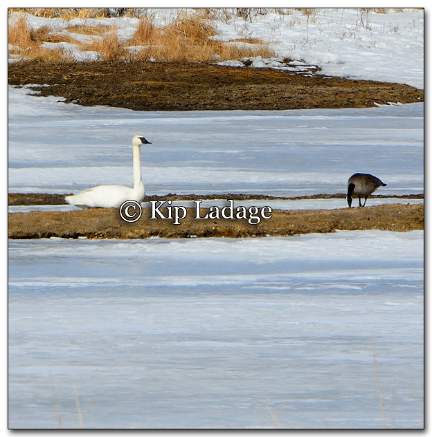 Trumpeter Swan and Canada Goose - Image 241258